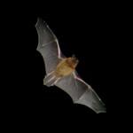 Pipistrellus Bat